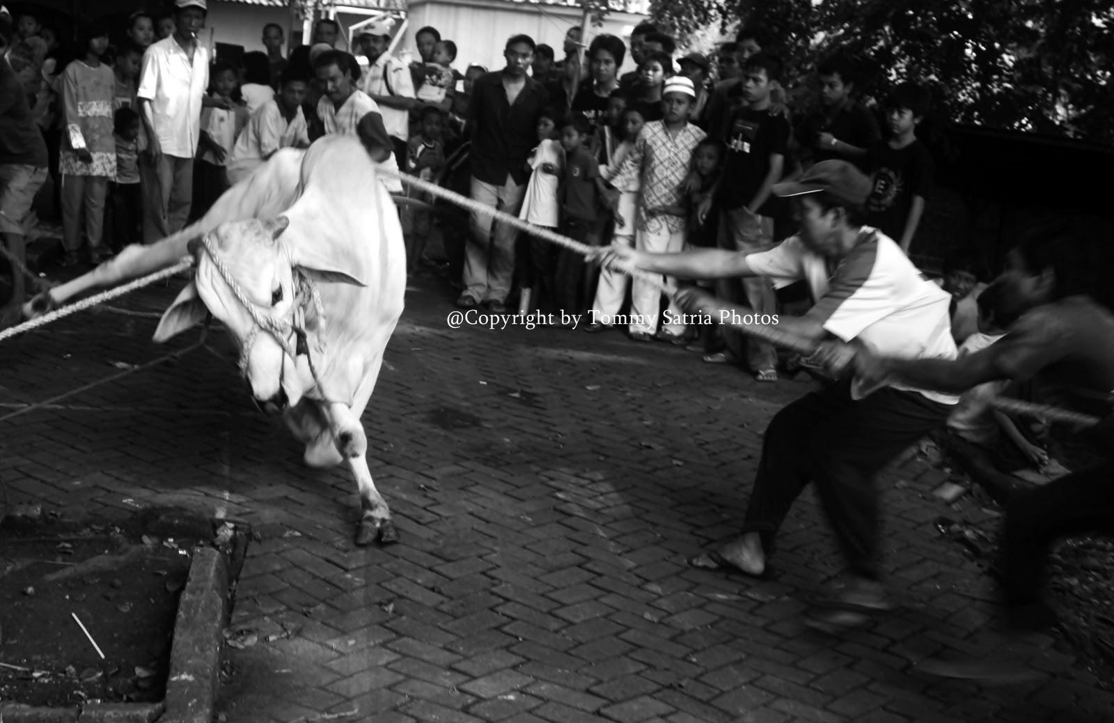 Story Cow Sacrifice At Eid al-Adha in Indonesia – Catatan Foto